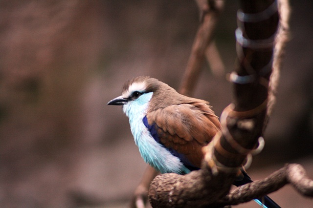 African Racquet Tailed Roller