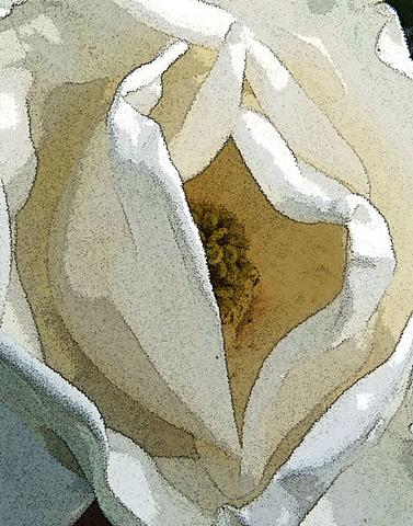 magnolia blossom, flower, flora, magnolia, southern flora