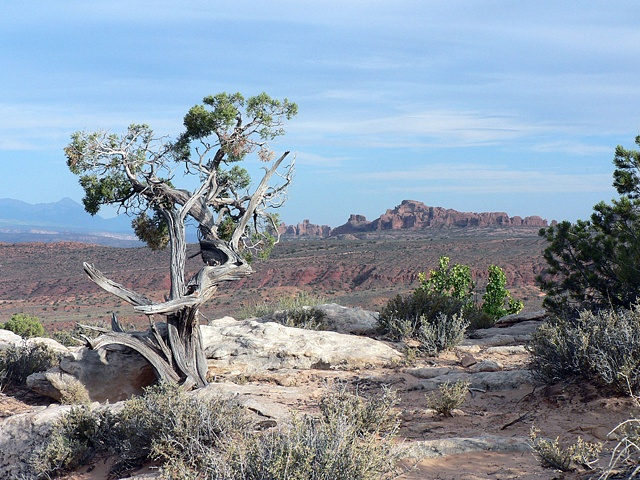 Gnarled Tree, Arches National Park, Utah
