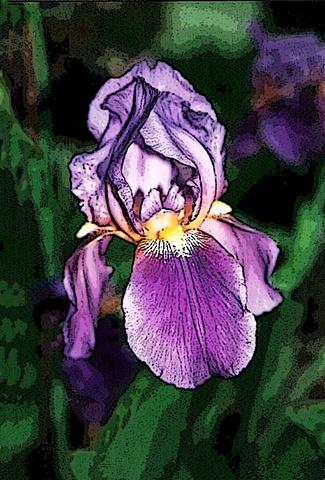 iris, flowers, purple flowers, flora