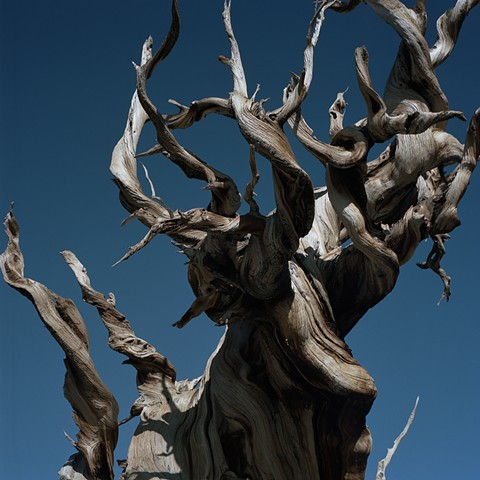 Part 1 - Circle 7 Here nest the odious Harpies/The wood cries out and blood flows (Bristlecone Pine, White Mountains, California)