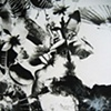 Zoo (black dahlia detail)