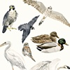 Species of the Gowanus Canal, Brooklyn (Birds)