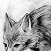 Coyote Sketch