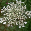 Queen Anne&#39;s Lace