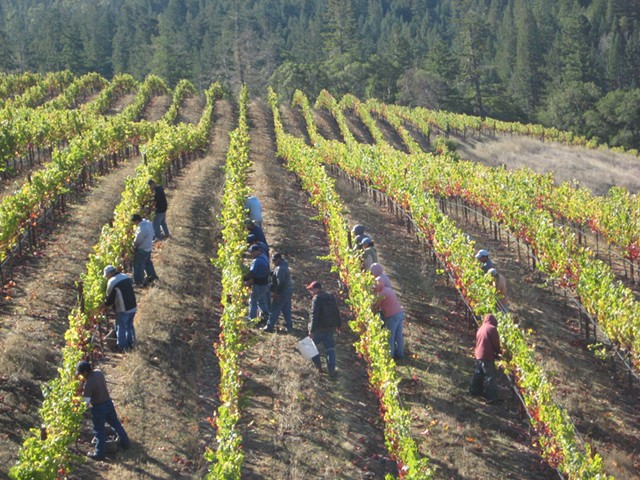 Grape harvest in the Anderson Valley