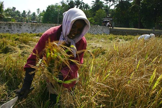 Harvesting Rice, Kerala, India.