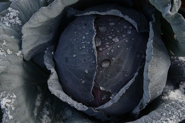 Winter cabbage, Heart Arrow Ranch.