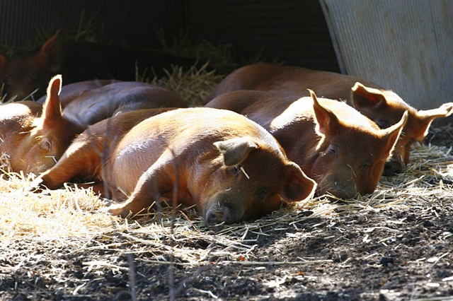 Pigs at Lover's Lane Farm