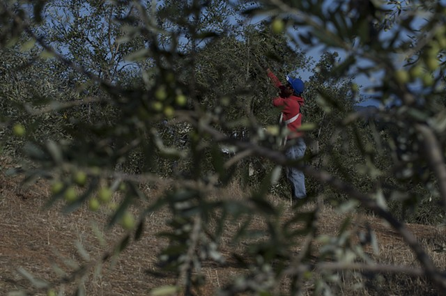Olive Harvest, Terra Savia, Hopland.