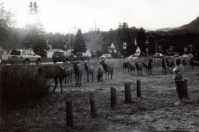 Elk with people