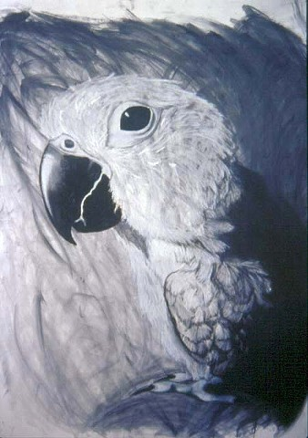 bird, conure, drawing,