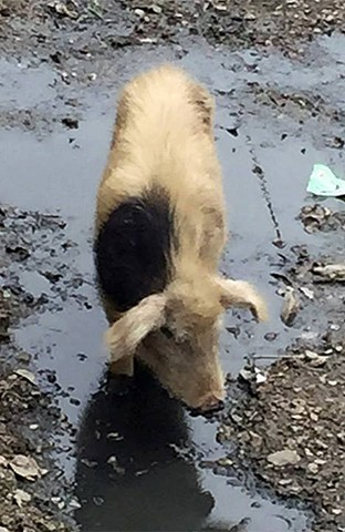 Pig in Labrang